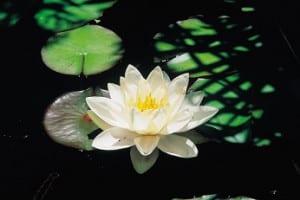 Lilypad; nature scenic